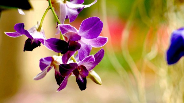 purple-orchid-flower-photography-wallpaper