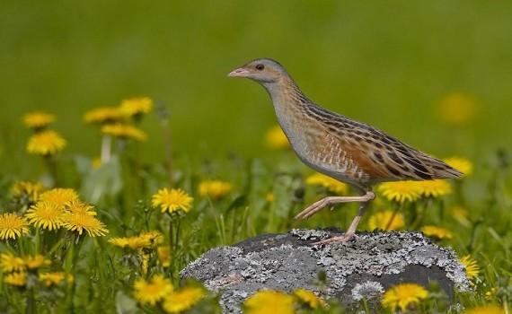 птица жълта